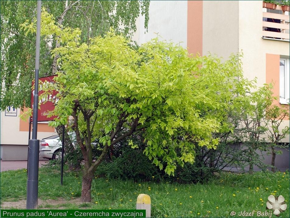 Prunus padus 'Aurea' - Czeremcha zwyczajna pokrój