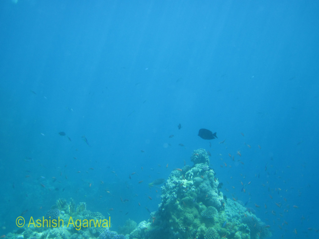 Some fish above a section of coral reef under water in the Red Sea near Sharm el Sheikh