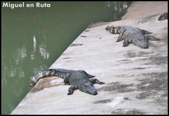 Crocodile siamés