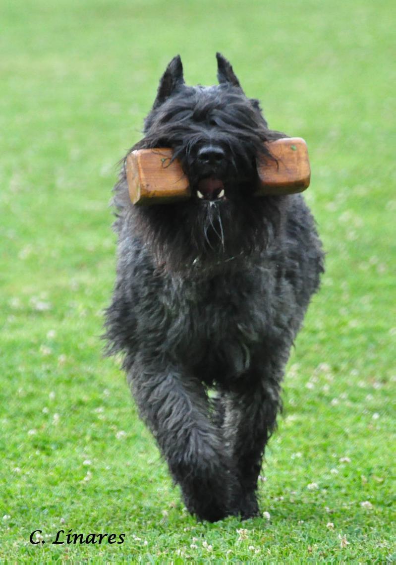 Bouvier des flandres legand and history bullcatdog