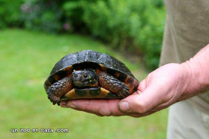 Glyptemys insculpta, wood turtle