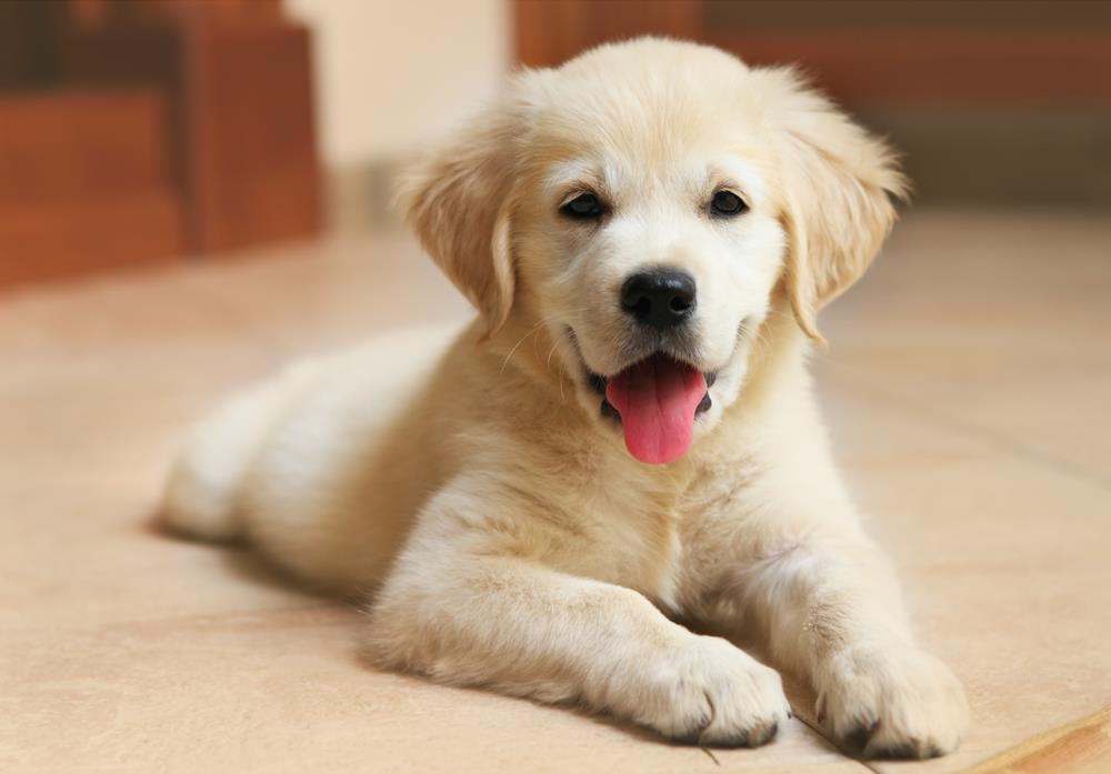 Download Yellow Labrador Retriever Puppy Wallpapers Iphone