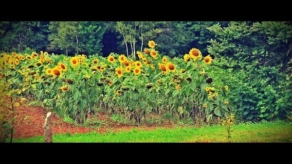 Sunflowers near Park Corner, PEI