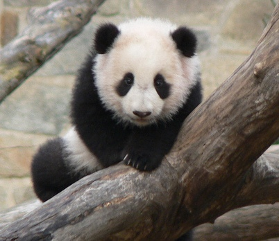 baby panda bear facts