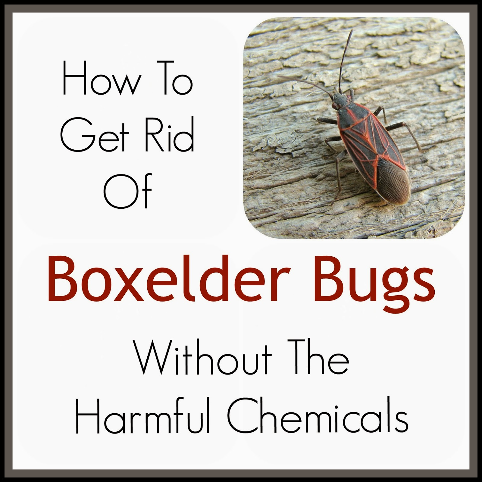 Cessco inc how do you kill boxelder bugs for How to stop spiders coming in your house