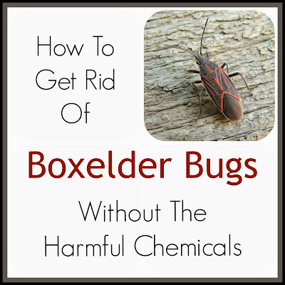 How do you get rid of boxelder bugs