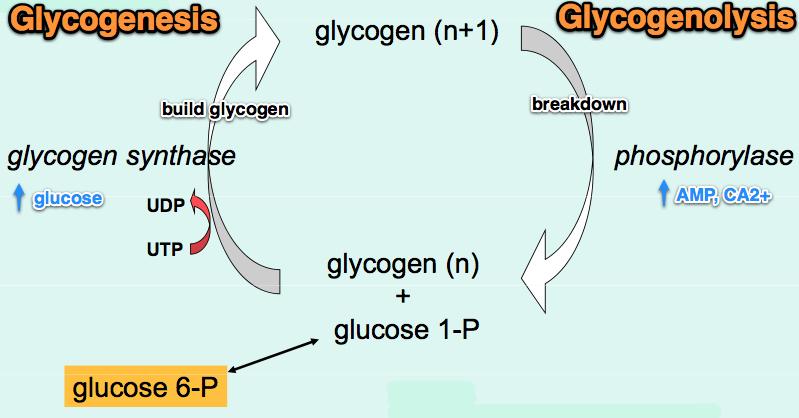 glycogen sythesis