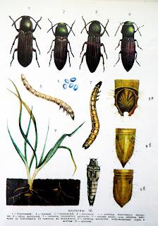 Проволочники — это жуки-щелкуны