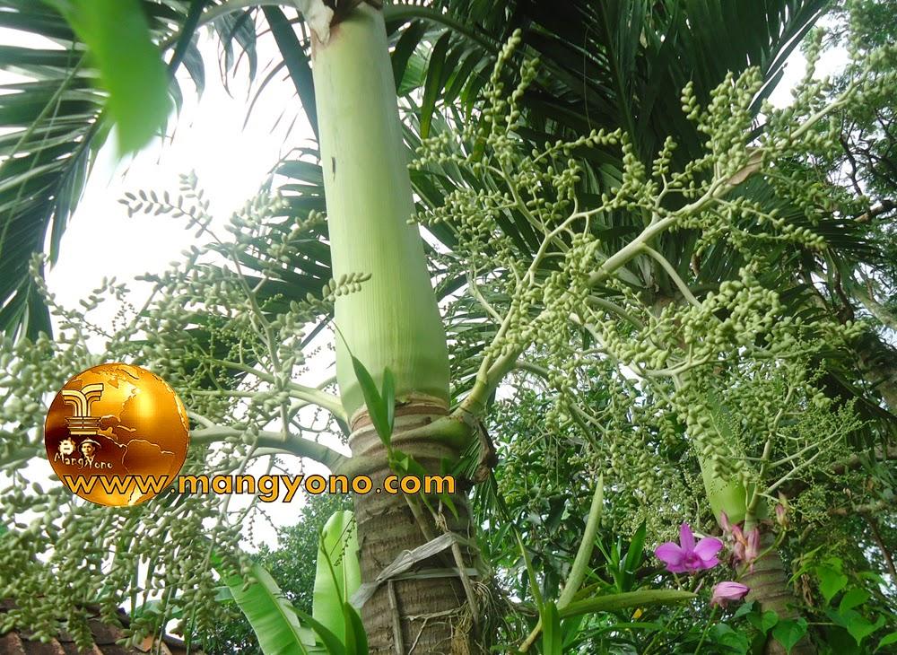 FOTO  : Pohon Palem Putri (Veitcheia memilli) di taman mungil admin