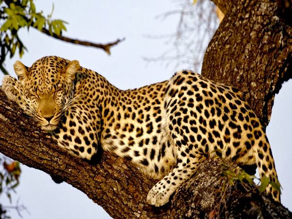 http://www.google.com/imgres?imgurl=http://images.nationalgeographic.com/wpf/media-live/photos/000/006/cache/leopard_606_600x450.jpg&imgrefurl=http://animals.nationalgeographic.com/animals/mammals/leopard/&h=194&w=259&sz=1&tbnid=sgURxYAhYjVA1M:&tbnh=150&tbnw=200&zoom=1&usg=__VVlEPYg69bksF_3HORjl6onbTS0=&docid=DbkO85i3WELCvM&itg=1&sa=X&ei=TXEDU8qBCcGBrQflhIDgCA&ved=0CJ8BEPwdMAo