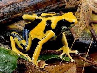 Foto Katak Beracun Warna Kuning