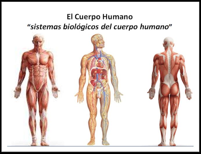 El CUERPO HUMANO: sistemas biológicos