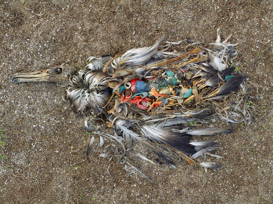 #5 Albatross Killed By Excessive Plastic Ingestion In Midway Islands (North Pacific) - 22 Heartbreaking Photos Of Pollution That Will Inspire You To Recycle