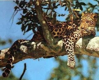 Leopardo descansando en la rama de un árbol