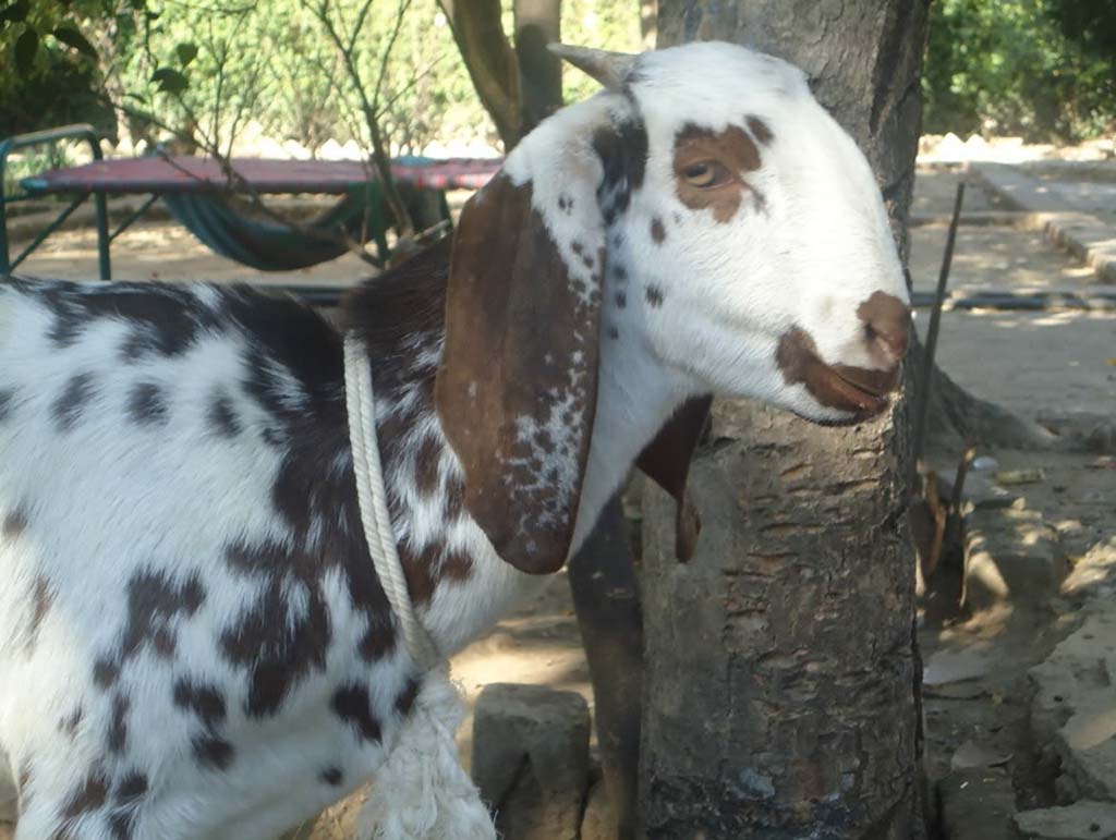 upper respiratory infections in goats