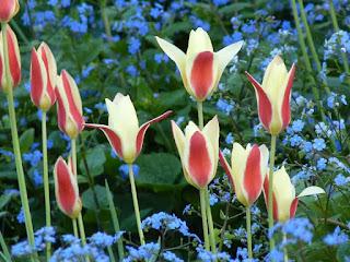 Tulpen im Frühling
