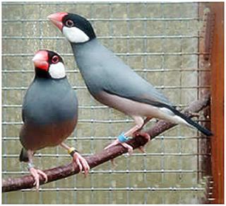burung gelatik