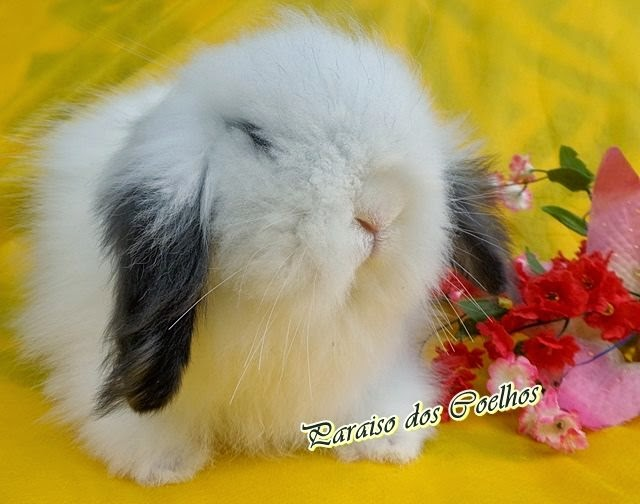 mini coelho - Fuzzy Lop