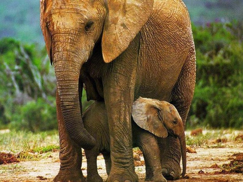 Http Anaconda Snake Wallpapers Blogspot Com 2012 02 Mother Elephant And Calves Hq Images Html