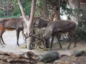 Reindeer's with giant antlers in Schoenbrunn zoo