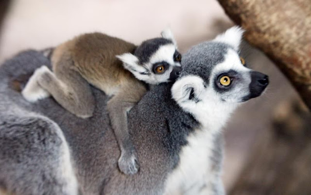 funny animal pics, animal photos, baby lemur aon mom's back