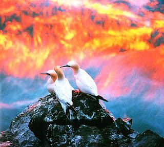 Олуши и волны на рассвете, Исландия
