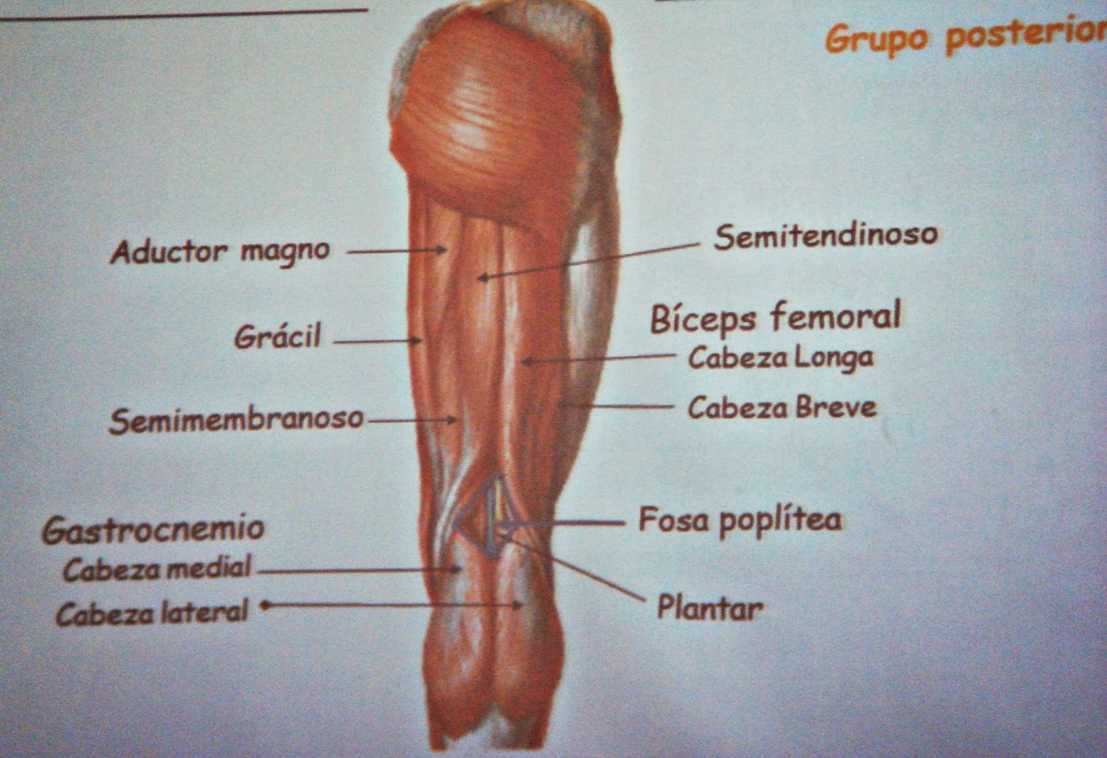 MUSCULOS DEL MIEMBRO INFERIOR | Morfologia Humana