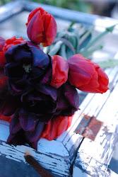 Mørke tulipaner