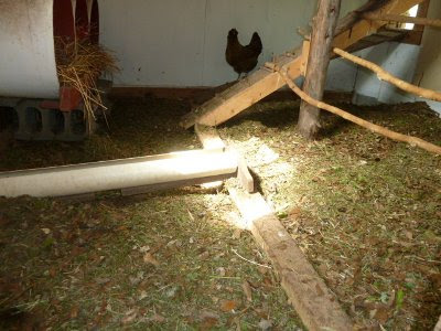 inside the chicken coop + chicken + grass clippings for litter
