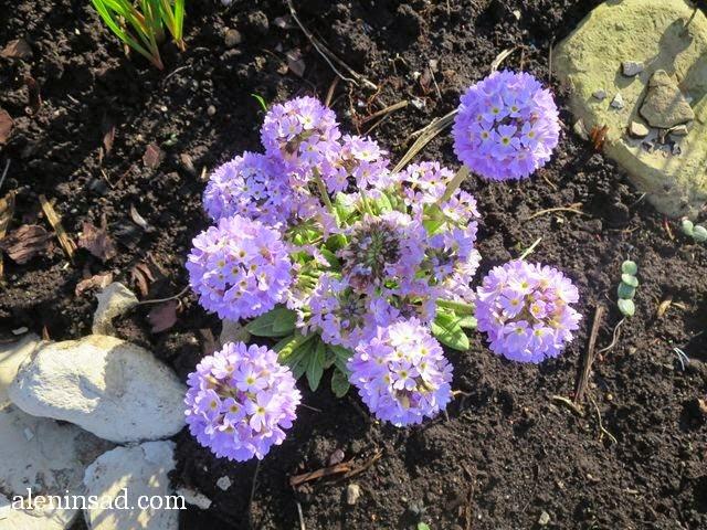 Primula, примула мелкозубчатая, примулы, розовые, лиловые, фиолетовые, аленин сад