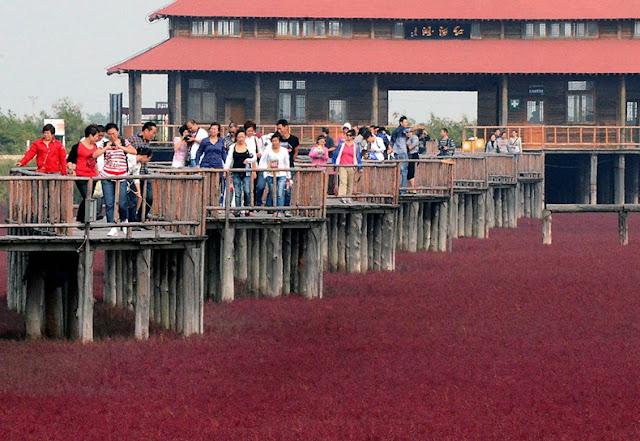 panjin red beach 55 من أجمل شواطئ العالم '' الشاطئ الأحمر '' في مدينة بانجين بالصين