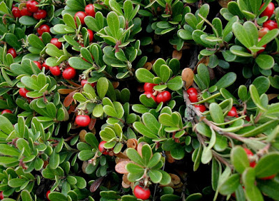 Bearberry (Arctostaphylos Uva Ursi) Overview, Health Benefits, Side effects