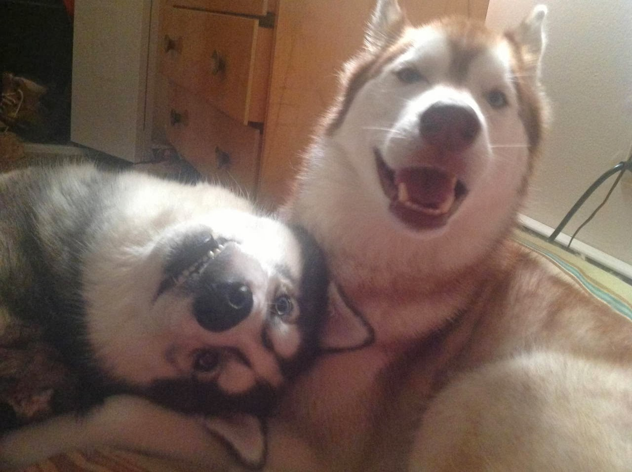 Cute dogs - part 6 (50 pics), two huskies being adorable