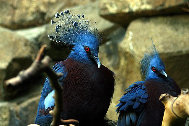 victoria+crowned+pigeon+11 أكبر حمامة في العالمحمامة فكتوريا المتوجة