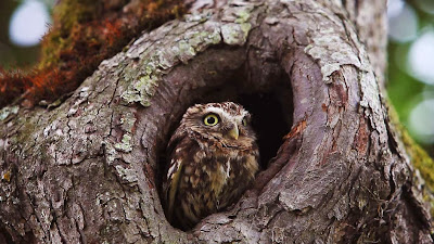 Little owl, Vieux, Calvados, Lower Normandy, France (© Getty Images) 460