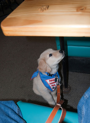 "The Golden Retriever puppy is sitting under a wood table in a restaurant. He is wearing a blue bandana that says ""Future Leader Dog"" in red. He is looking up toward the table. On top of the table is a small pile of kibble. His leash is lying across the aqua seat of the booth between jean-clad legs."