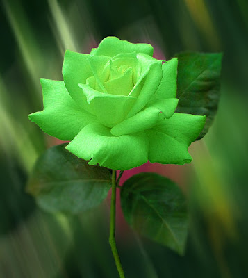 Green Roses, True Green Roses, Natural Green Roses.