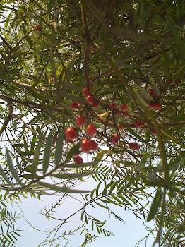 Ahora puede Exportar Aceite Esencial del Árbol de Molle o Pirul o Pepper Tree