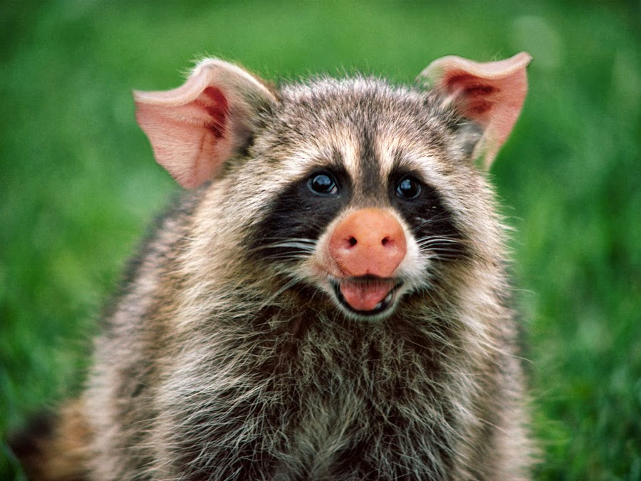 funny animal raccoons latest information amp pictures