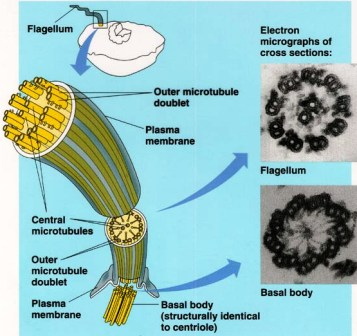 Ultra structure of Flagellum