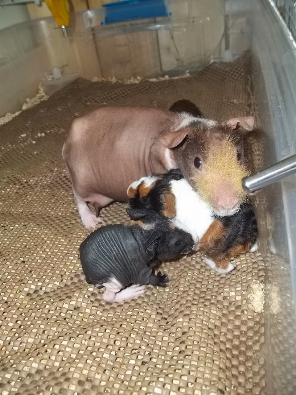 Maison cochon d inde 28 images de cochonsdinde67 mes 4 for Meuble a donner quebec