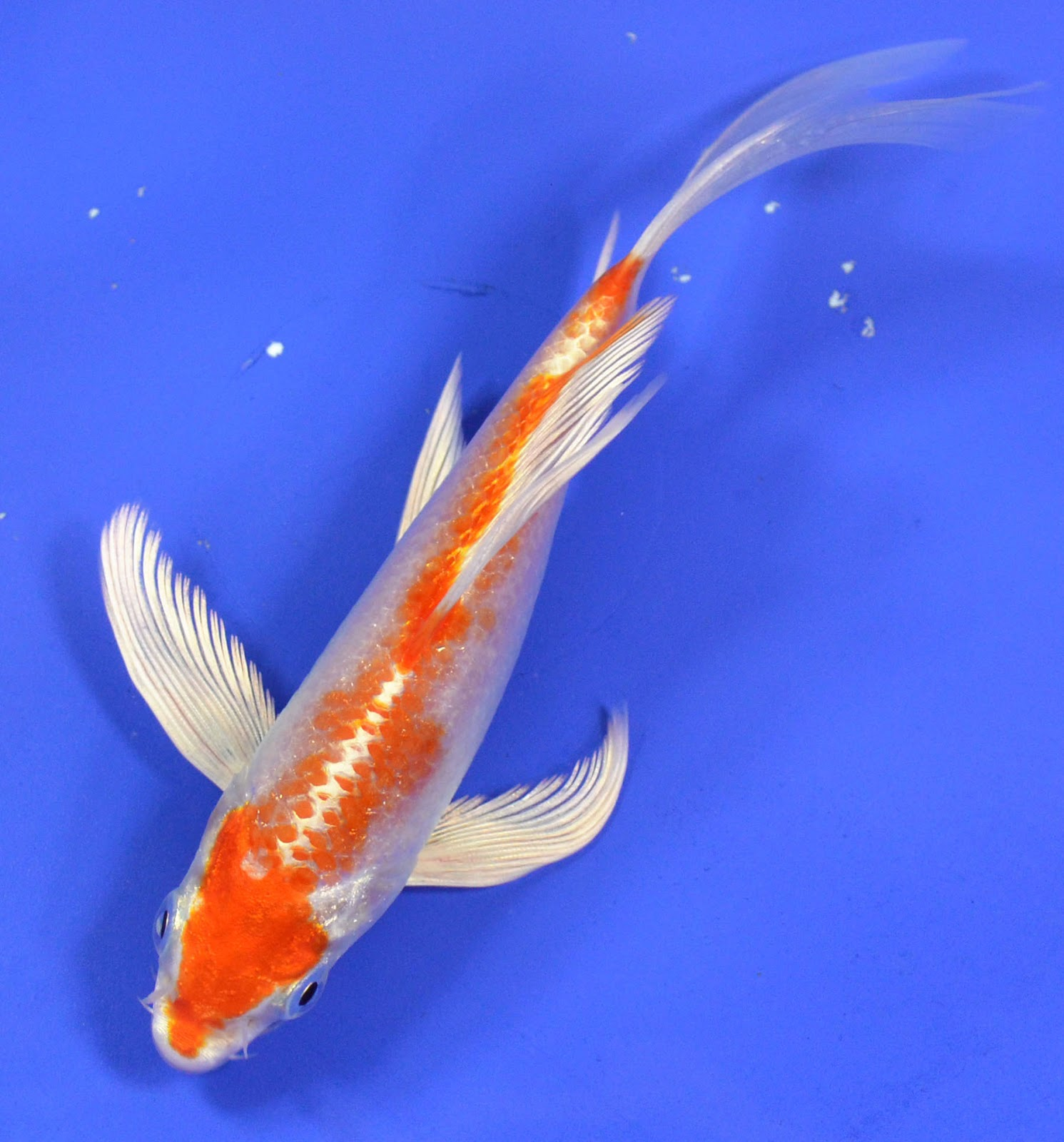 Koi to the world hariwake koi for Butterfly koi