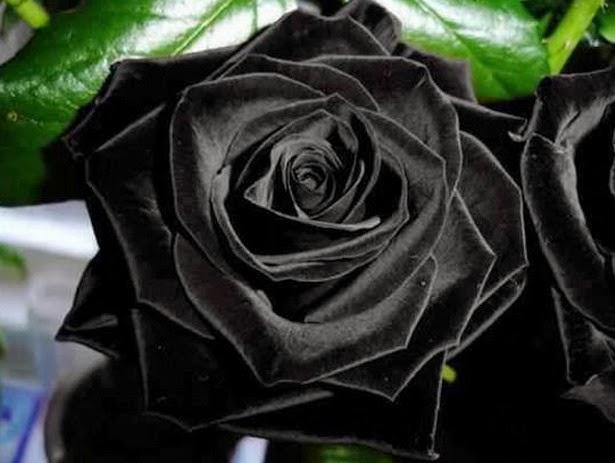 Rosas Negras Naturales Imagenes - EL MISTERIOSO CASO DE LAS ROSAS NEGRAS DE