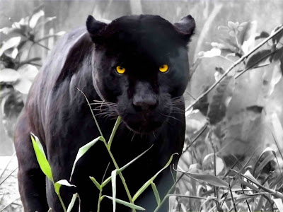 black leopard lion panther