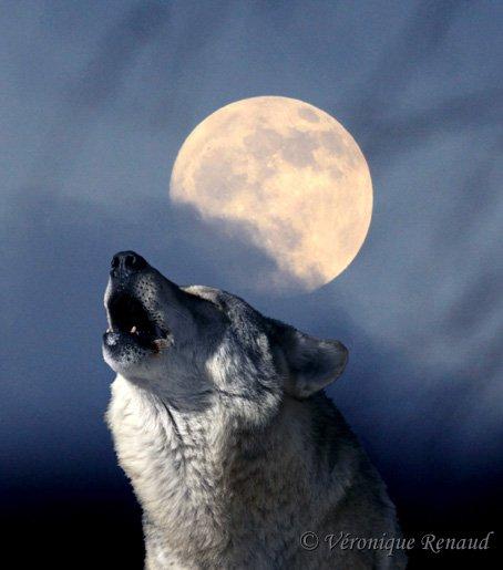 Amazing Wolf: White Wolf : Amazing Supermoon Photos