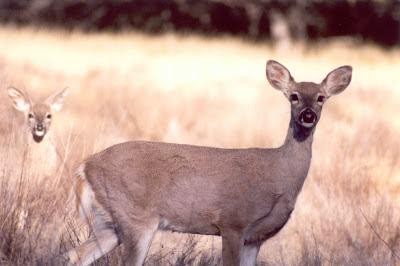 Deer at Big Bend National Park