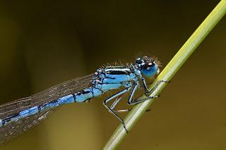 Para ampliar Coenagrion mercuriale (Caballito del diablo azul) hacer clic