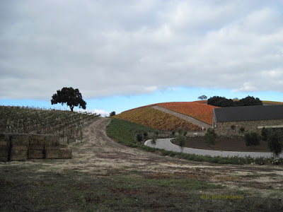 The Same Niner Vineyard in on November 19, 2011. ©B. Radisavljevic