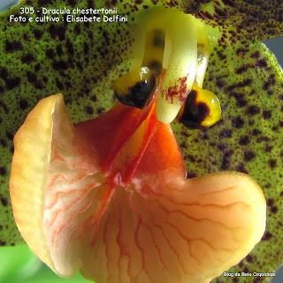 Masdevallia chestertonii: Masdevallia macrochila