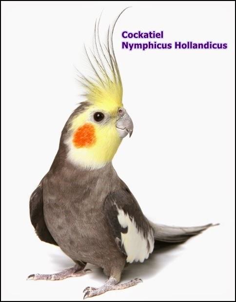 Catatan Burung Mengenal Burung Eksotik Cockatiel